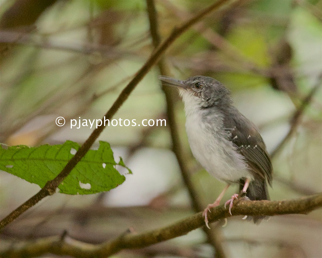 Silvered Antbird (Sclateria naevia)