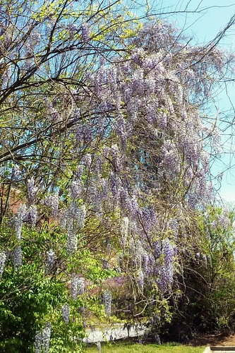 Wisteria. | by The Quiet Poet