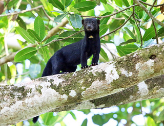 Tayra | by tcmurray74