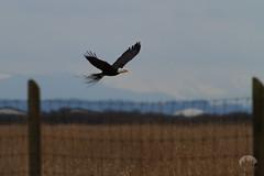 Boundary Bay Birds-3139