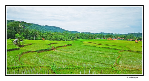harrypwt indonesia java visitindonesia huaweip20pro p20pro borders framed green grass nature trees landscape centraljava paddy rice field
