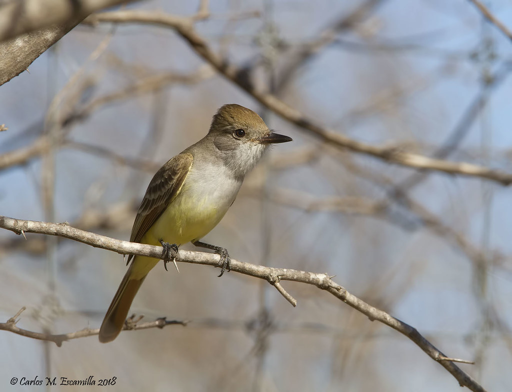 Brown crested Flycatcher_MG_2375edtsg