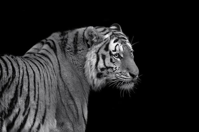 Tigger | Black and White