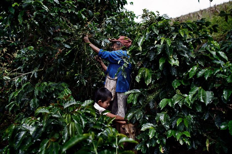 Mujer recogiendo granos de café, Comunidad el Mojon, Jinotega, Nicaragua