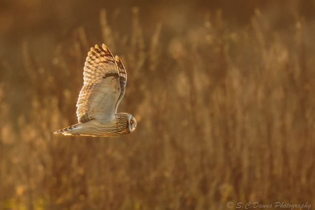 Short Eared Owl ( Asio flammeus )