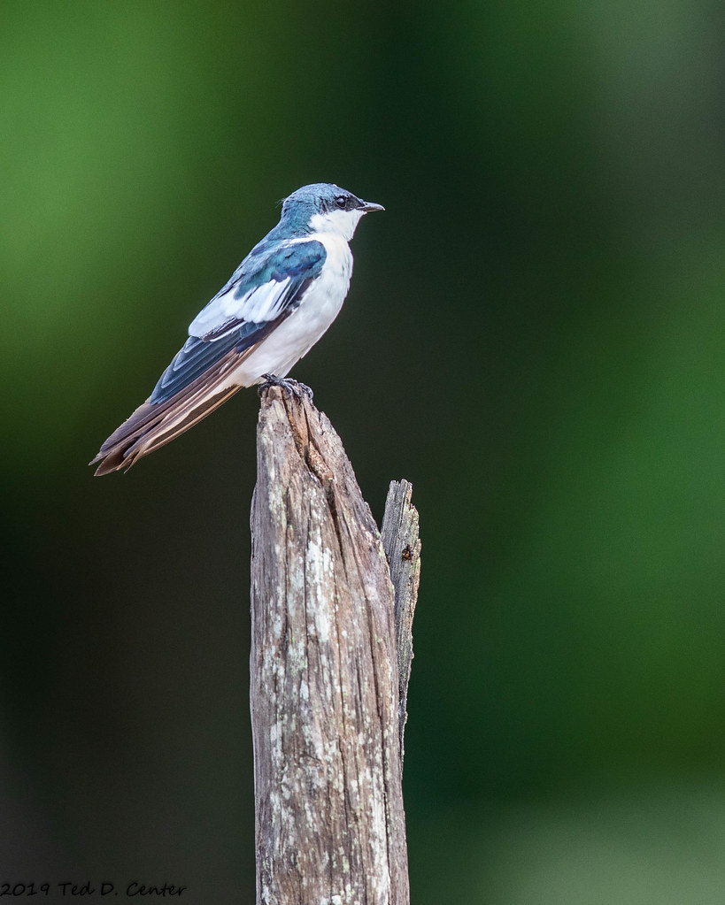 SWALLOW, White-winged