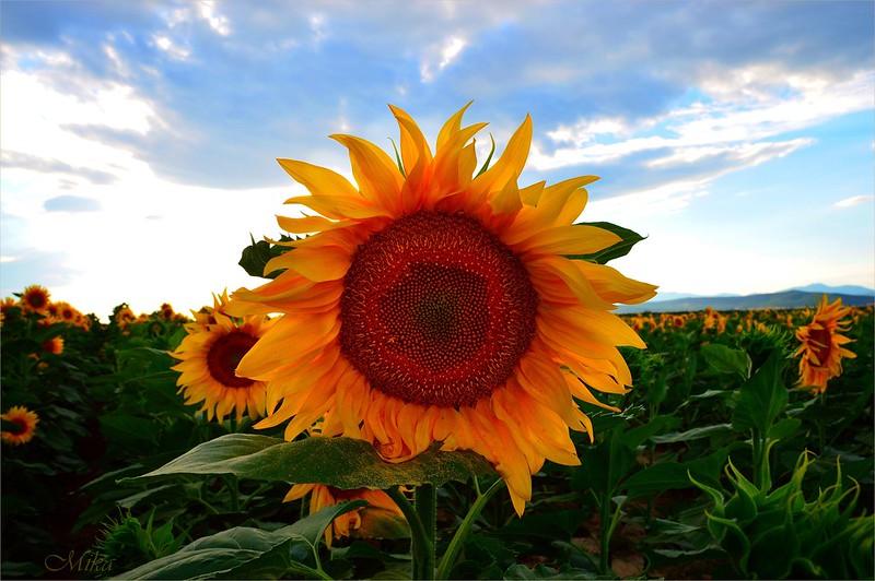 Обои Лето, Подсолнухи, Summer, Sunflowers картинки на рабочий стол, раздел цветы - скачать