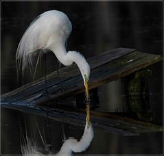 I didn't see what he saw....Great Egret dips for a drink.