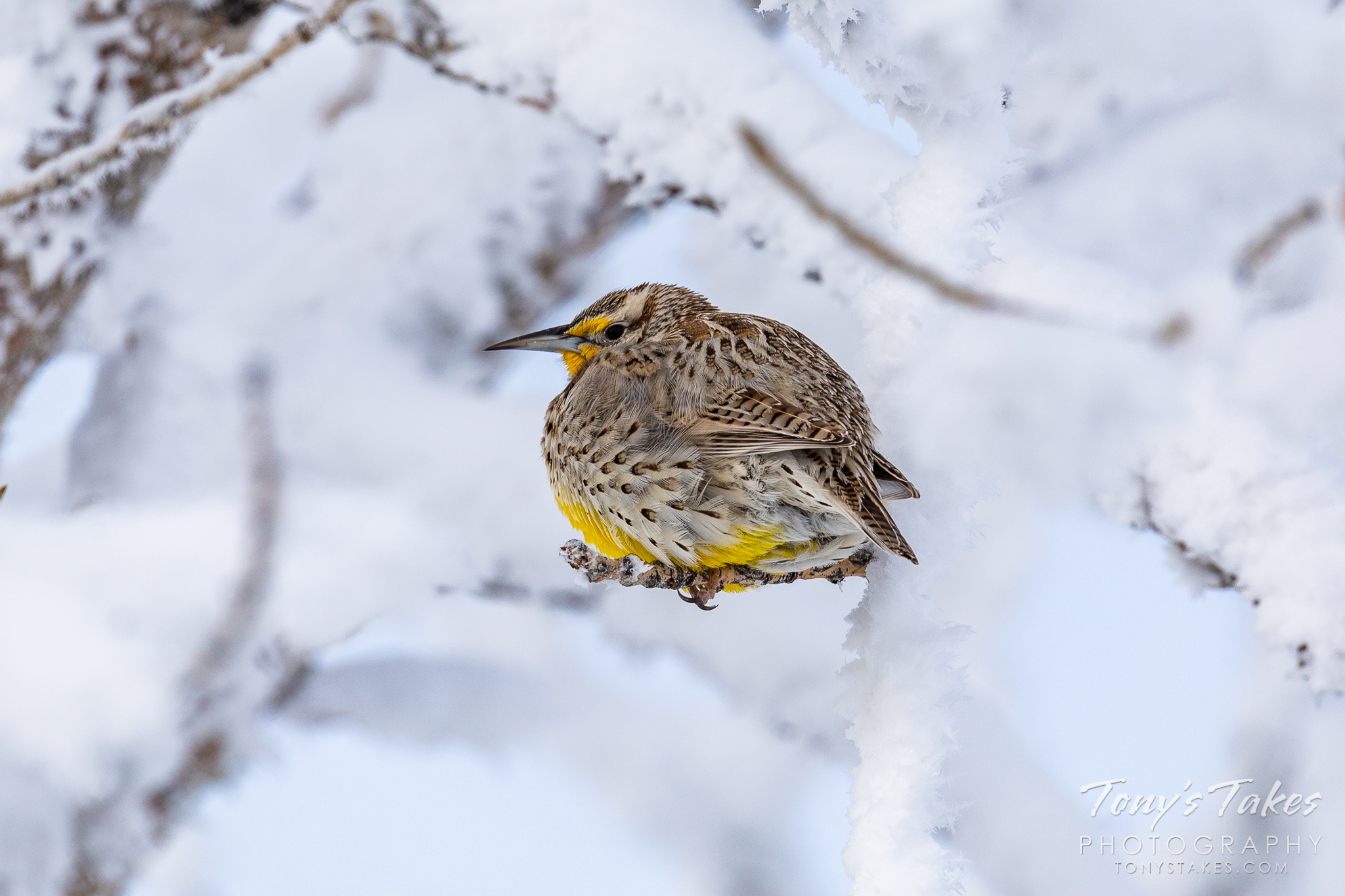 Western meadowlark chills out in a frost-covered tree
