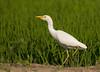Western Cattle Egret (Bubulcus ibis) by piazzi1969