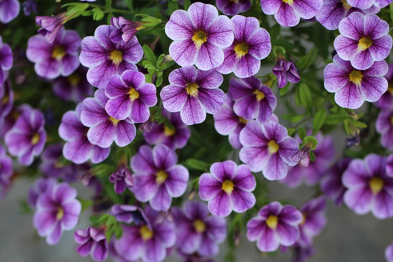 Обои фиолетовые, цветочки, Калибрахоа картинки на рабочий стол, раздел цветы - скачать
