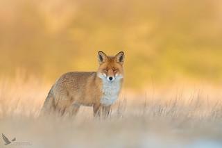 Lis, Fox (Vulpes vulpes) ...