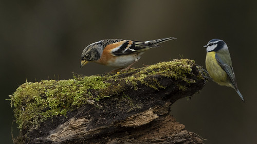 brambling birds two log nature wildlife