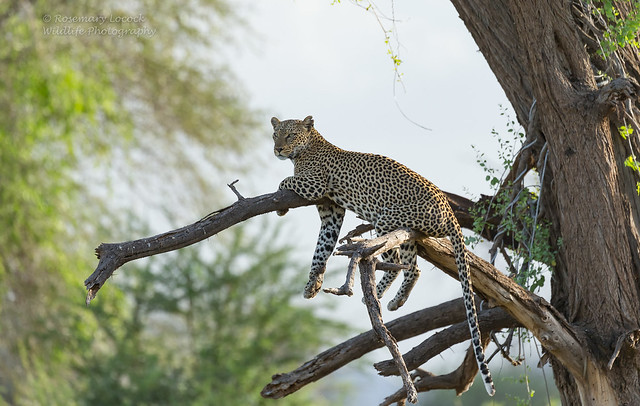 Female Leopard - Panthera pardus