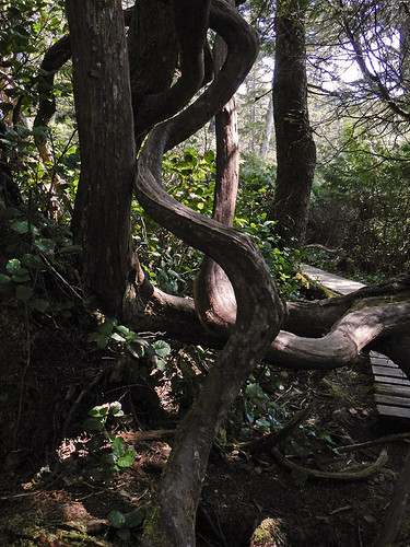 A twisted tree on the trail between Botanical Beach and Botany Bay