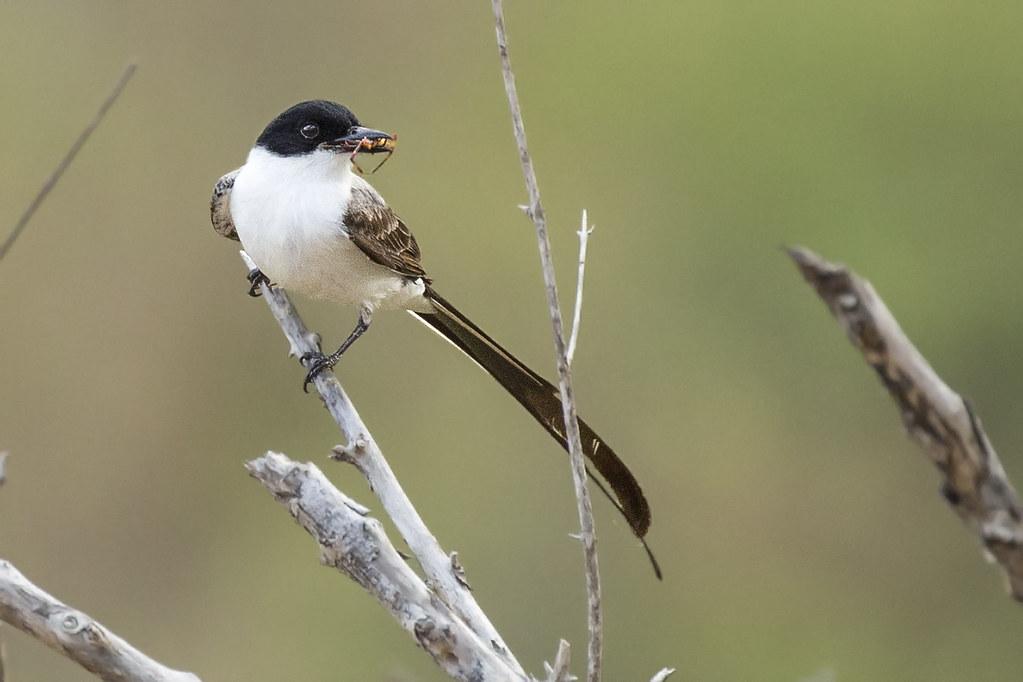 Fork-tailed Flycatcher (Tyrannus savana) 9 032019