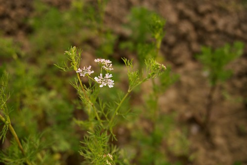 Flower of a Coriander | by padam.thapa