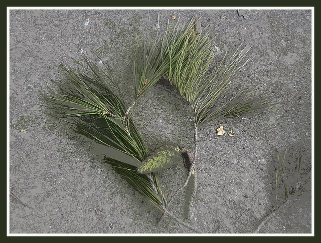 20181231 Pine Tree Trimmings