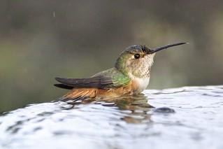 Hummingbird | by Mike's Birds