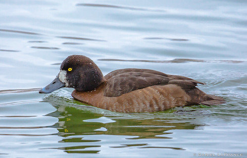 Lesser Scaup - female  (DOL-A-4728)