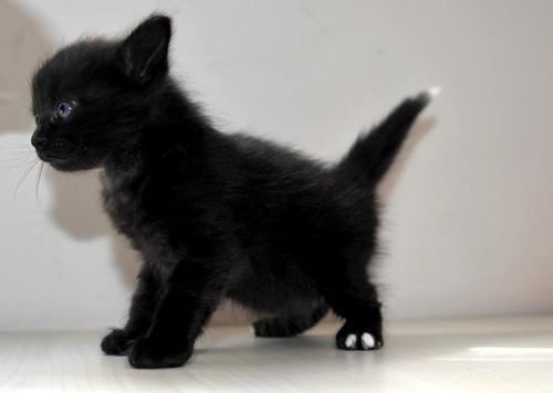 Yoel, gatito monisimo pelo semilargo negro esterilizado, nacido en Febrero´19, en adopción. Valencia. 33583666558_315b0600e8