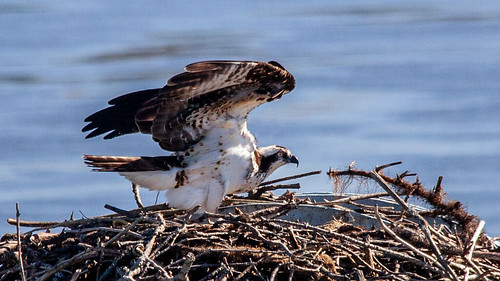Ospreys Mean Spring | by Me in ME