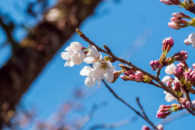 名郷も桜が開花