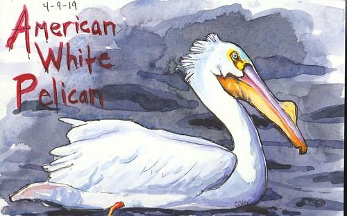 20190410_American_white_pelican