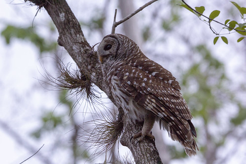 barred owl bird nature wild wildlife strixvaria sixmilecypressslough fortmyers florida raptor