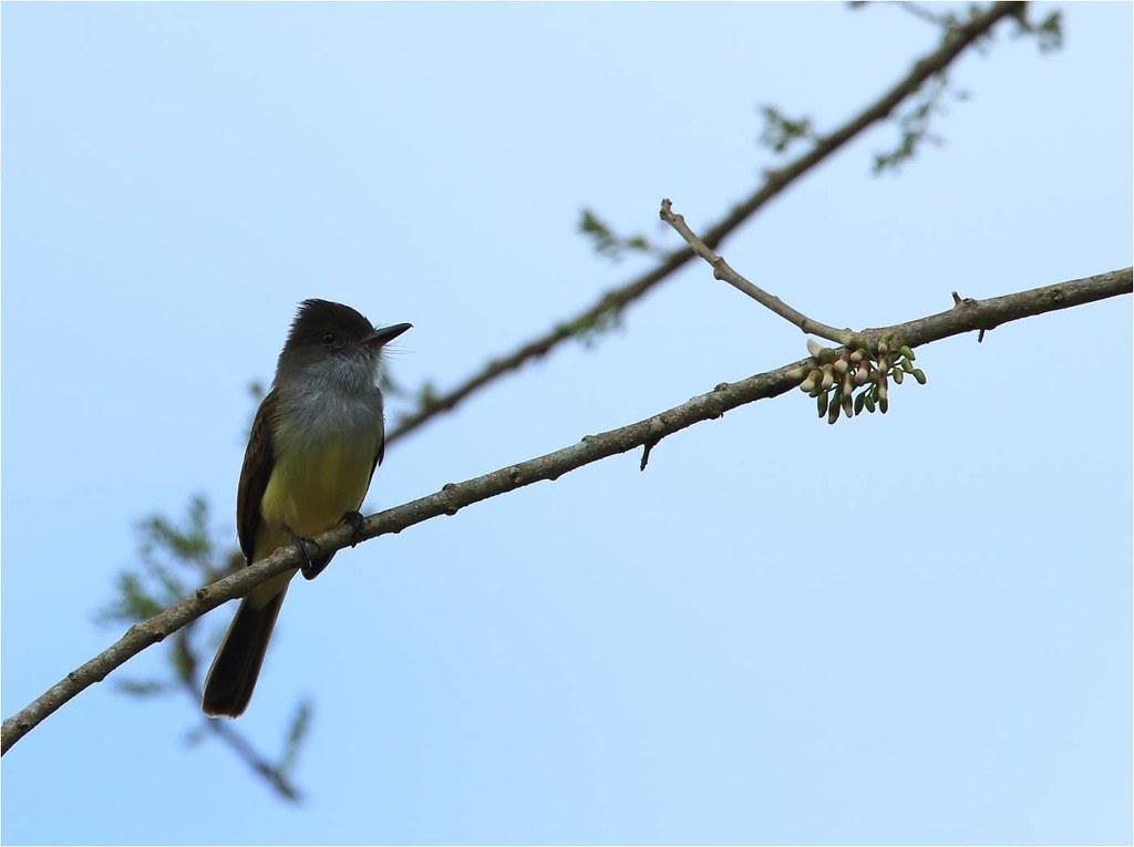 Tyran de Weid, Brown-crested Flycatcher