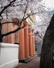 The Athenaeum and the Cherry Tree