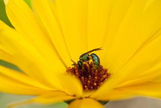 Sweat Bee | by Oceanic Wilderness