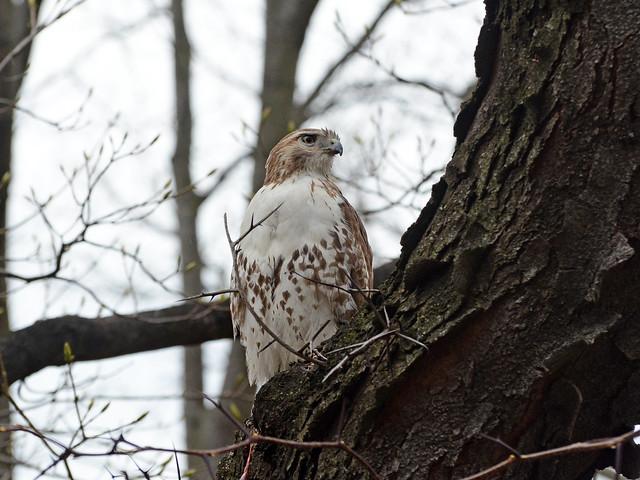 Riverside Hawk - 2013