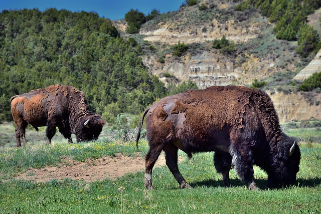 Bison Grazing in Prairie (Theodore Roosevelt National Park)