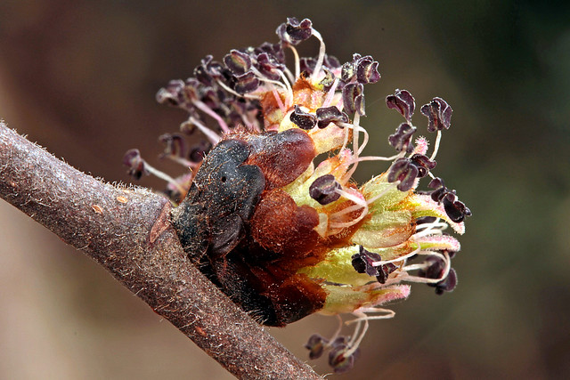 Ulmus glabra flowers