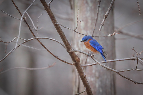 Little Bluebird, Scratching His Bluebird Head | by curious_spider