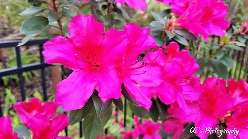 Crazy Color - Azaleas go Pop   by http://www.yashicasailorboy.com