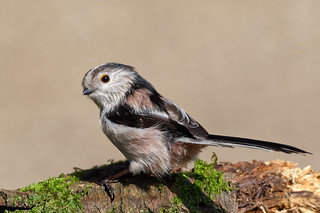 Long Tailed Tit | by Mike.Pursey