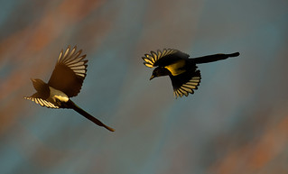 dancing magpies in the light of the rising sun | by hardy-gjK