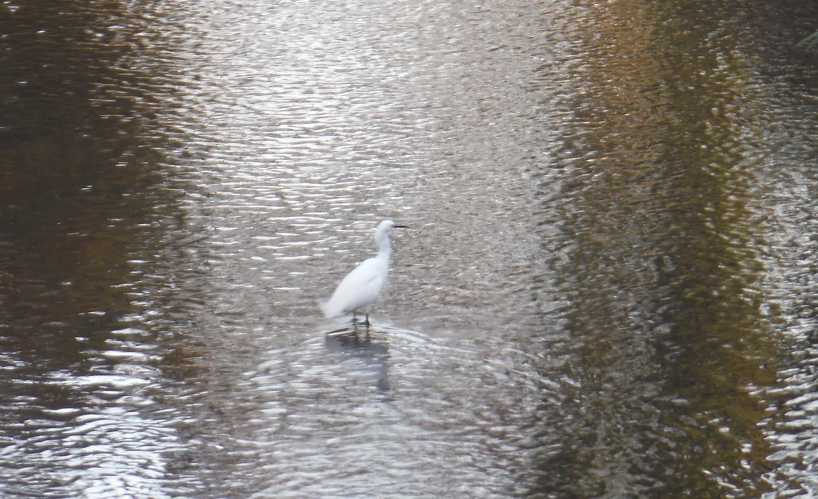 Birdlife in The Ravensbourne, Ladywell Fields SWC Short Walk 36 - Waterlink Way (Lower Sydenham to Greenwich)