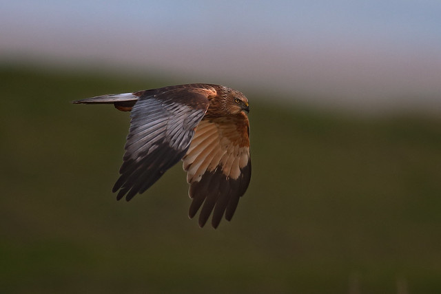 Marsh Harrier - male .