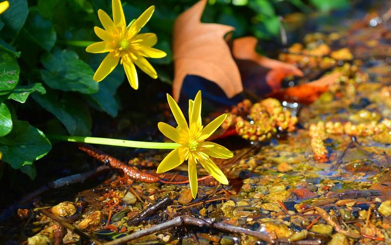 Обои Весна, Цветочки, Flowers, Spring, Лютики картинки на рабочий стол, раздел цветы - скачать