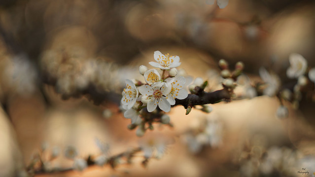 First Blossoms of Spring...