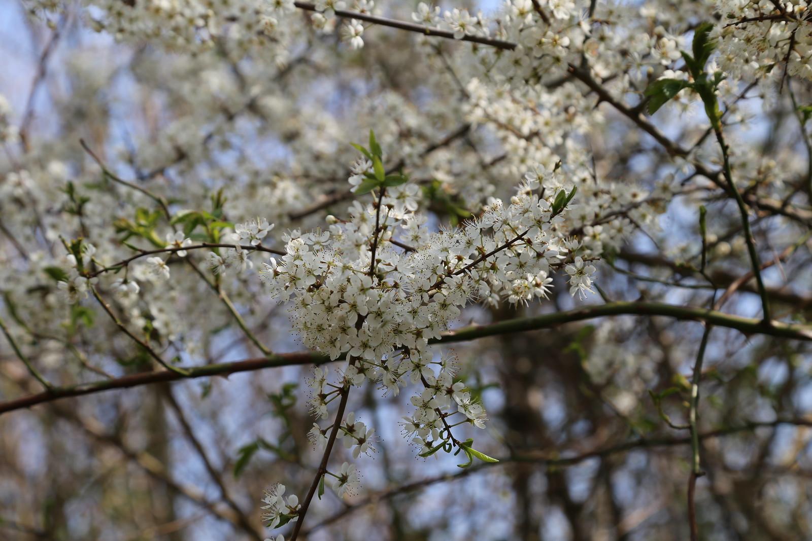 Blackthorn near Frant
