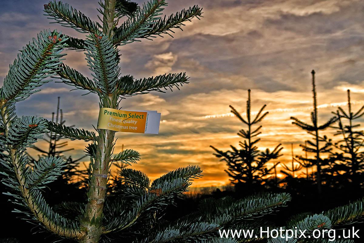 HousingITguy,Project365,2nd 365,HotpixUK365,Tone Smith,GoTonySmith,365,2365 one a day,Tony Smith,Hotpix,Grappenhall,Christmas,Tree,Trees,Christmas Trees,Grappenhall Christmas Tree Farm,Farm,Cheshire,Warrington,UK