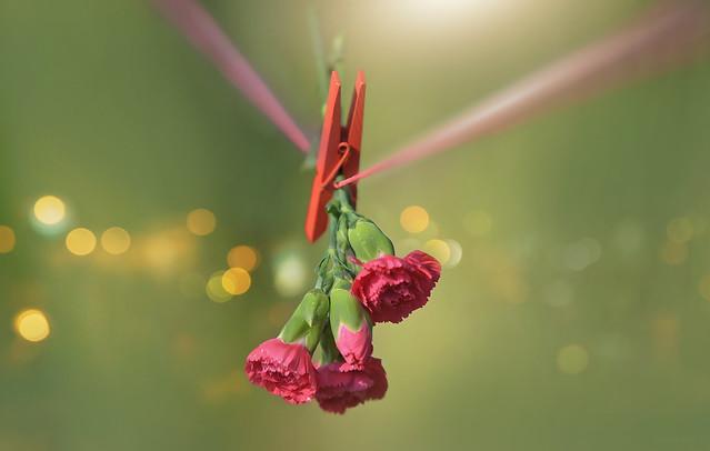 Carnation Delight...
