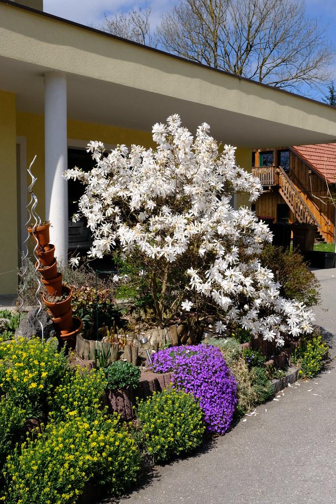 Magnolia stellaria