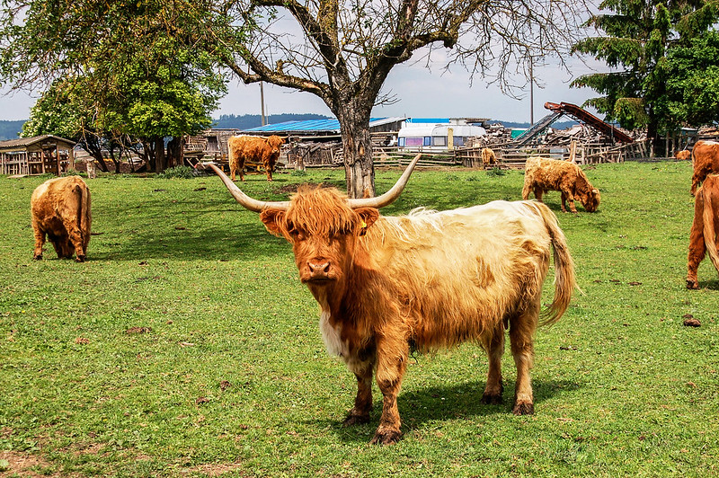 高地牛(Highland Cattle) 3