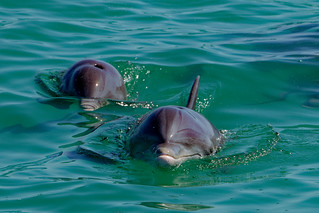 Dolphins of Key West-13 | by johnaalex