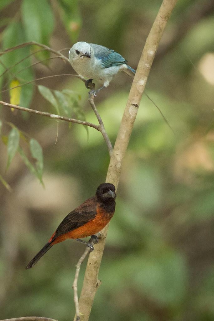 Blue-gray Tanager (Thraupis episcopus) and Crimson-backed Tanager (Ramphocelus dimidiatus) 1 031319